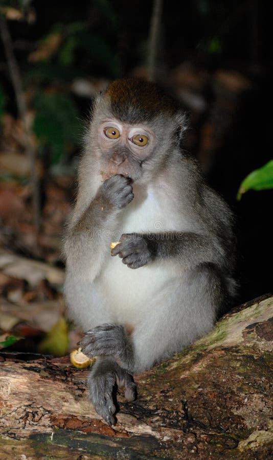 Macaque Long-tailed imagen de archivo