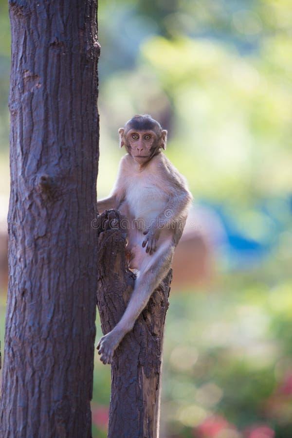 Macaque Long-tailed photos stock