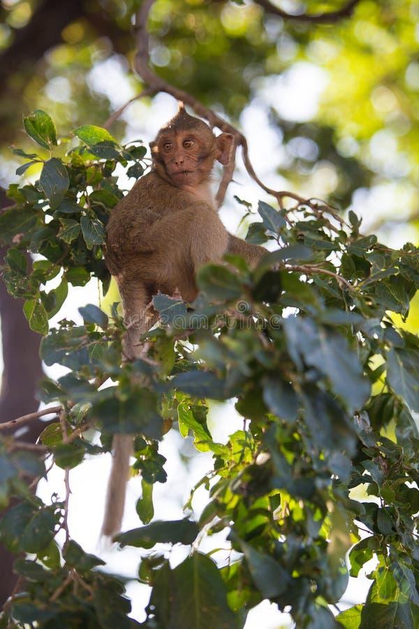 Macaque Long-tailed images libres de droits