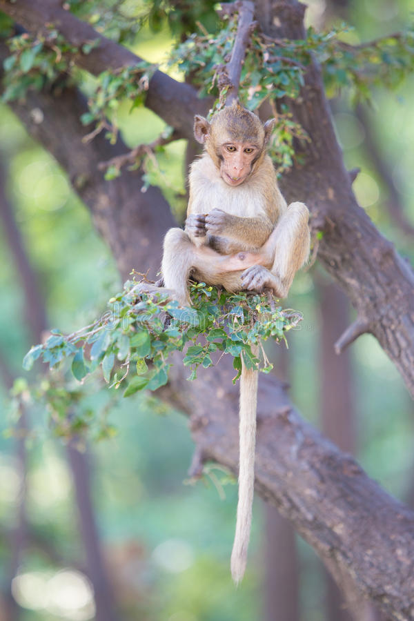 Macaque Long-tailed photo libre de droits