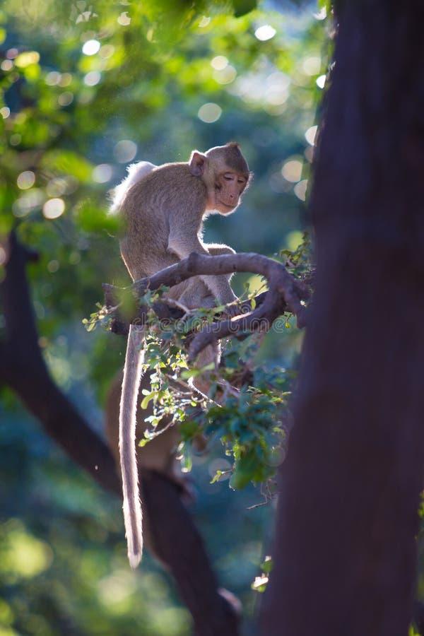 Macaque Long-tailed photos libres de droits