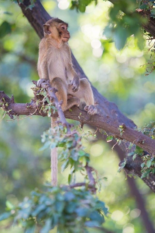 Macaque Long-tailed image libre de droits