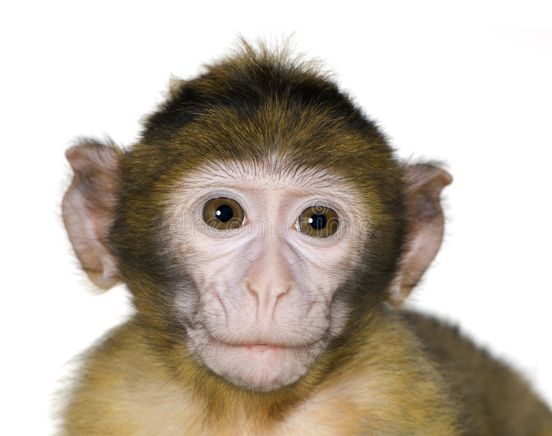 macaque macaca barbary младенца стоковые изображения rf