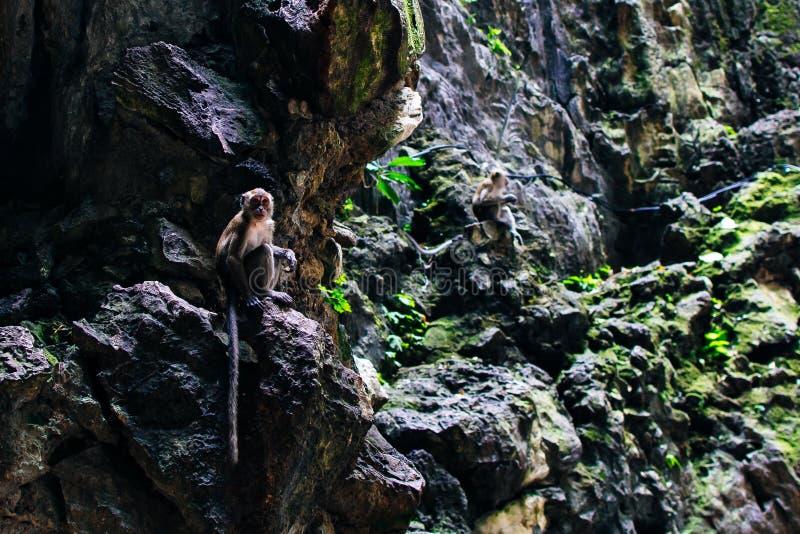 Macaque Macaca fascicularis singe dans les grottes de Batu, Kuala Lumpur images libres de droits