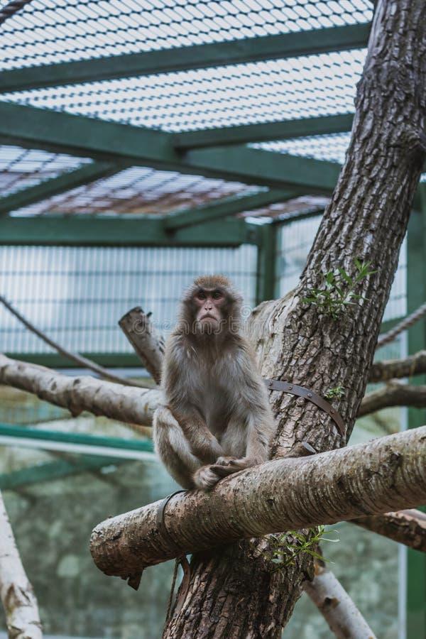 Macaque, Macaca Maura, sentando-se no ramo no jardim zoológico imagem de stock royalty free