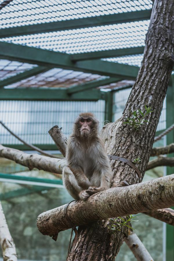 Macaque Macaca maura som sitter på filial i zoo royaltyfri bild