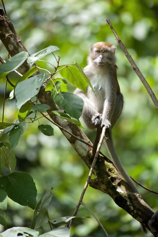 Macaque met lange staart stock foto's