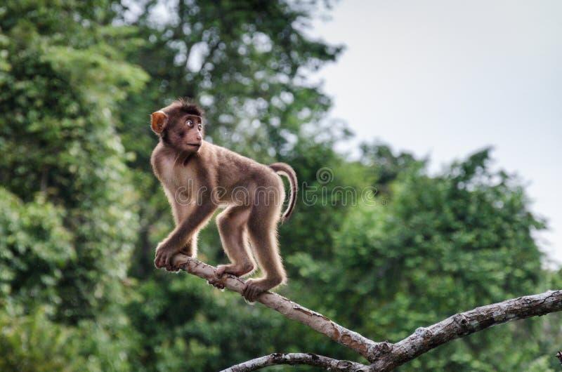 Macaque met lange staart stock afbeeldingen