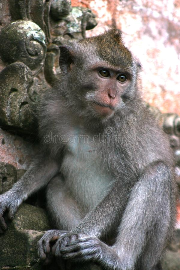 Macaque met lange staart (Macaca-fascicularis) stock foto's