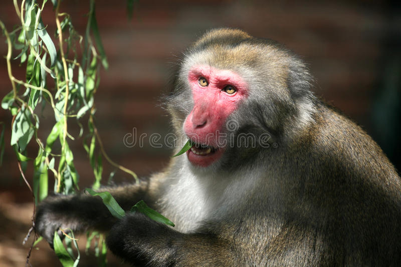 Download Macaque Monkey Stock Photo - Image: 12748650