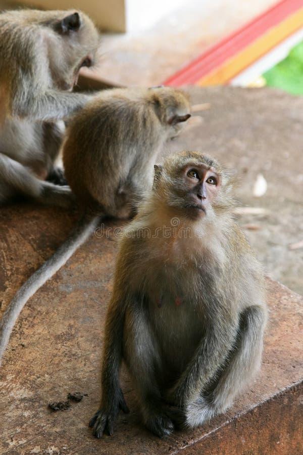 Download Macaque monkey stock photo. Image of marmoset, primate - 17129950