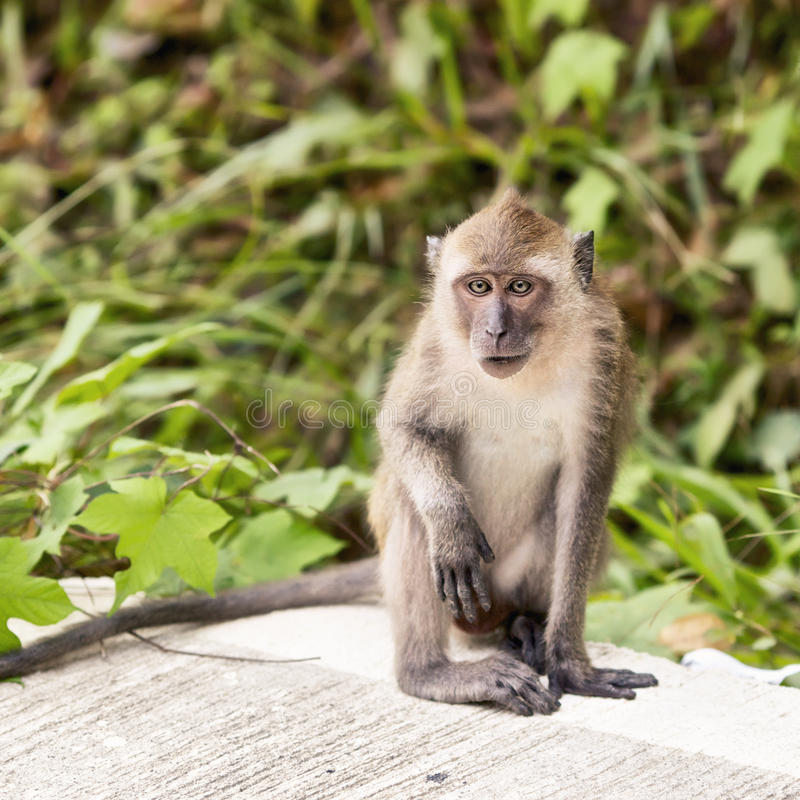 Download Macaque Monkey stock image. Image of funny, front, fauna - 24345113