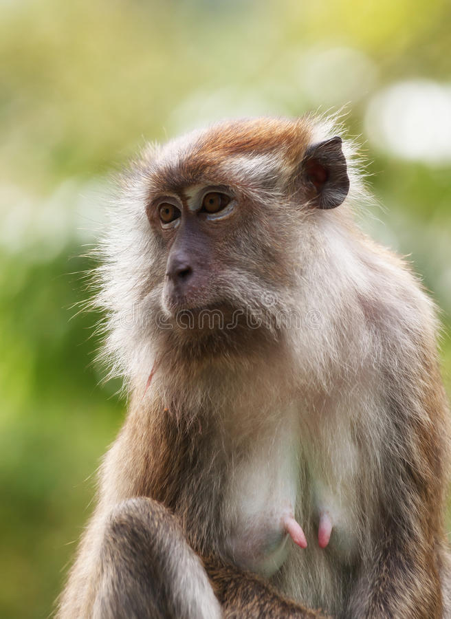 Macaque Monkey Stock Images