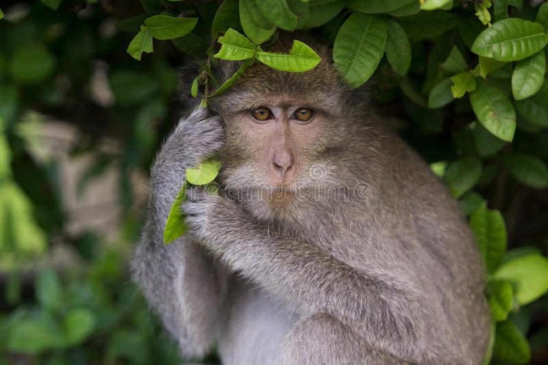 Download Macaque Monkey Stock Photos - Image: 9739043