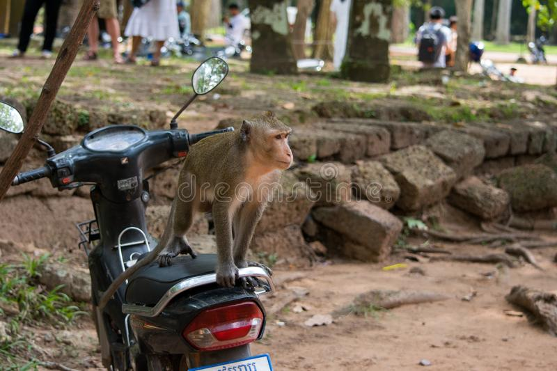 Macaque Monkey on a motor bike. SIEM REAP, CAMBODIA - Aug 12, 2017: An adult macaque monkey, sitting on a motor bike seat, facing the wrong way. Parked royalty free stock photos