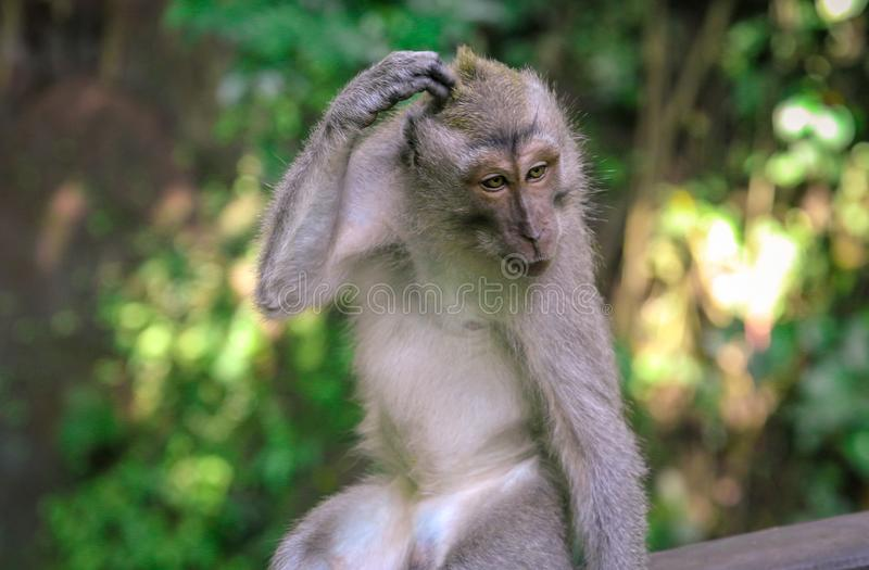 Macaque monkey scratching at the Monkey Forest, Ubud stock photo
