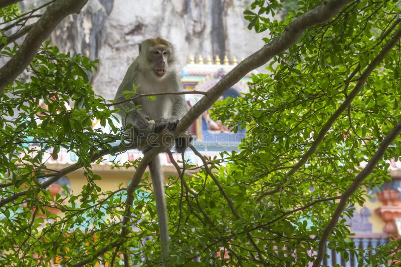 Macaque monkey sitting in the branches of a tree with a hedgehog. On a background of a Hindu temple stock photo