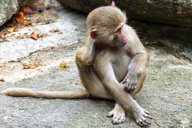 Macaque Monkey Sitting and Scratching Self on Rock royalty free stock photos