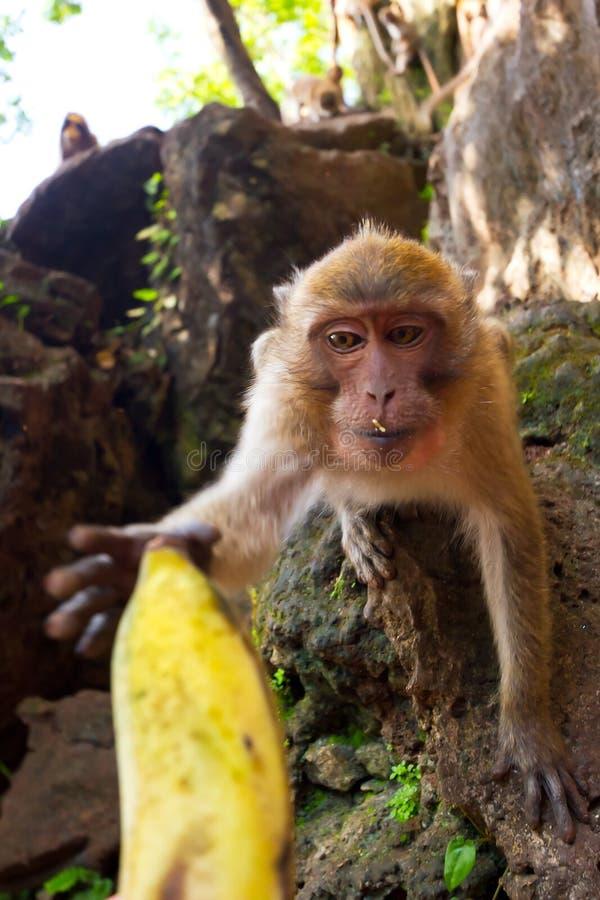 Macaque monkey taking banana stock photography