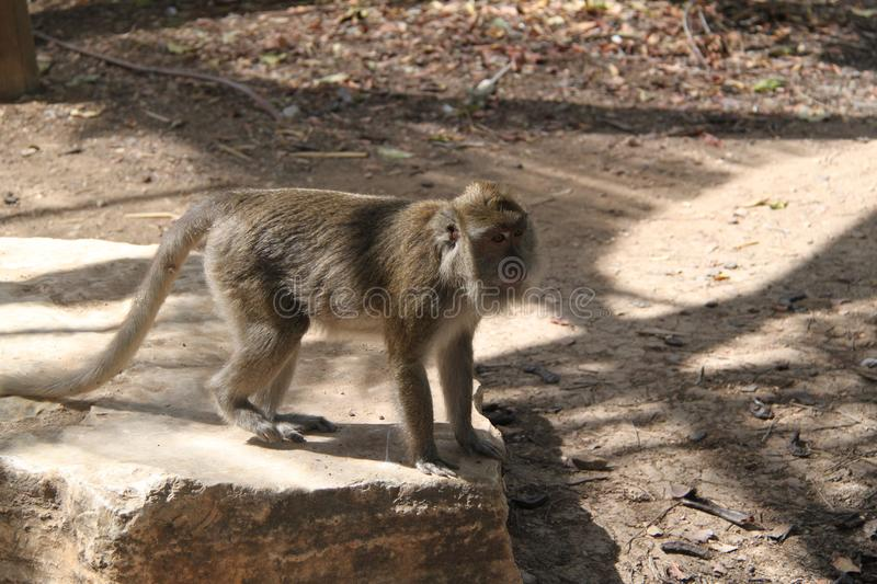 Macaque Monkey Walking on a Rock royalty free stock image