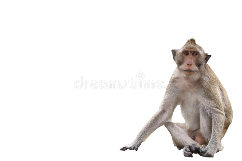 Download Macaque Monkey On White Background Stock Photo - Image: 33564740