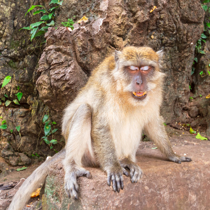 Download Macaque Monkey In Wildlife Royalty Free Stock Images - Image: 31444439