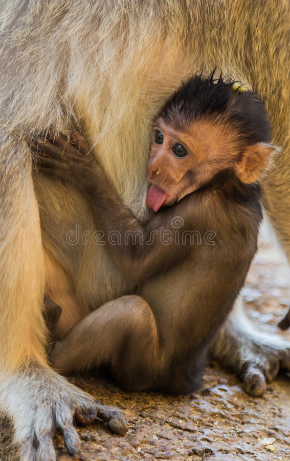 Macaque Monkey young stock photo