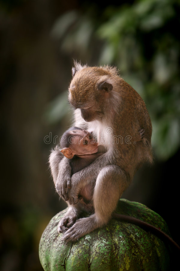 Macaque Monkeys. Mother macaque monkey breastfeeding her baby royalty free stock images
