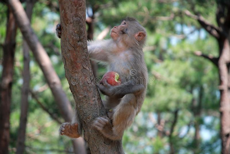 Macaque Monkeys stock images