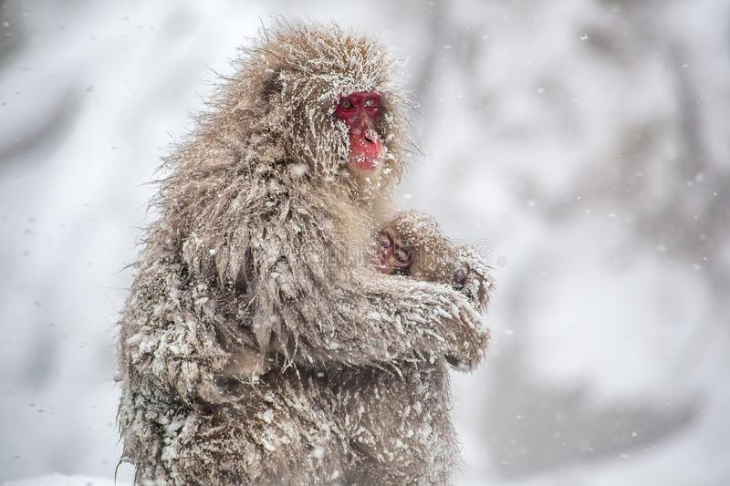 Macaque mother and child in a snowstorm. A female Japanese Macaque, or snow monkey, holds her baby close in a heavy snowstorm on a mountainside in Nagano, Japan stock image
