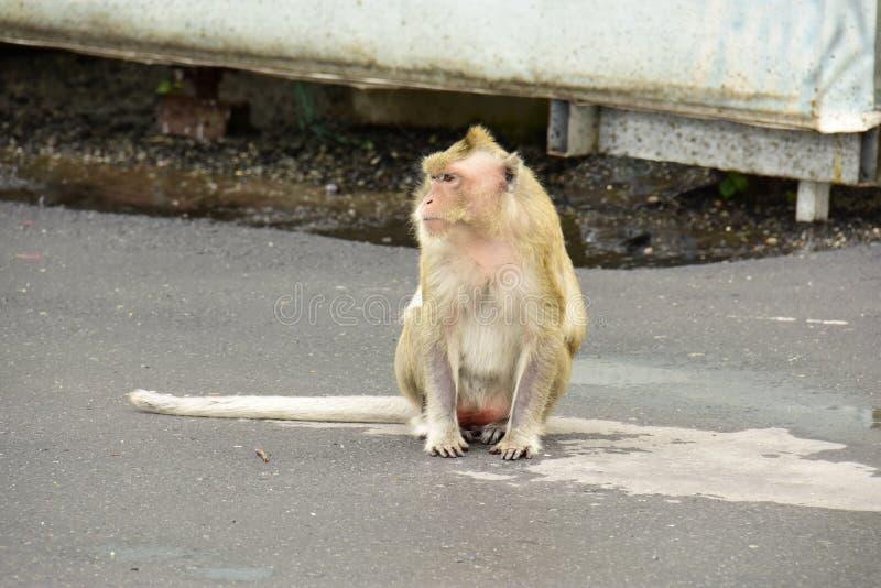 Macaque, mulatta do Macaca do Rhesus imagem de stock