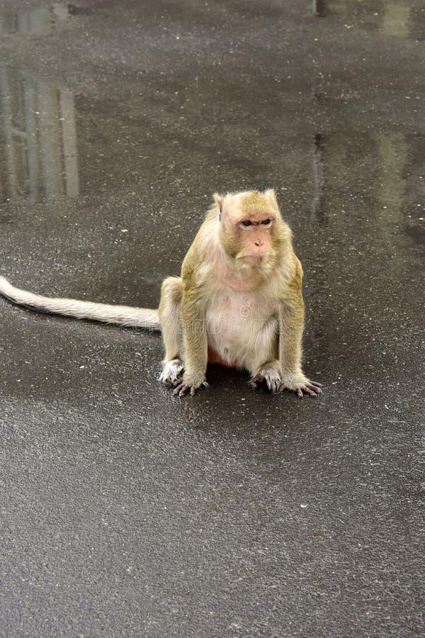 Macaque, mulatta do Macaca do Rhesus imagem de stock royalty free