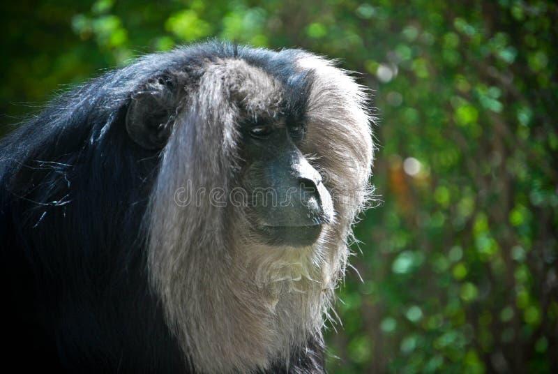 Macaque munito leone immagine stock