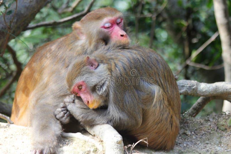 Macaque Nap Time arkivfoton