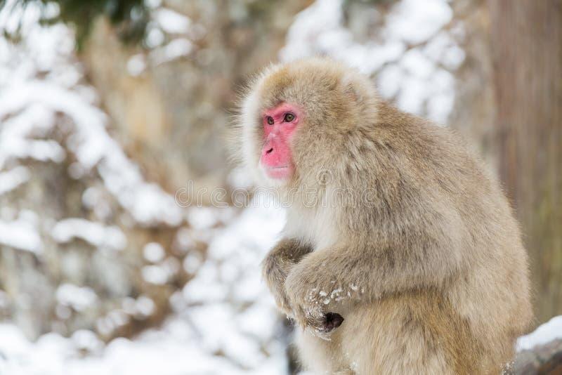 Macaque o mono japonés de la nieve en el parque jigokudan imagen de archivo