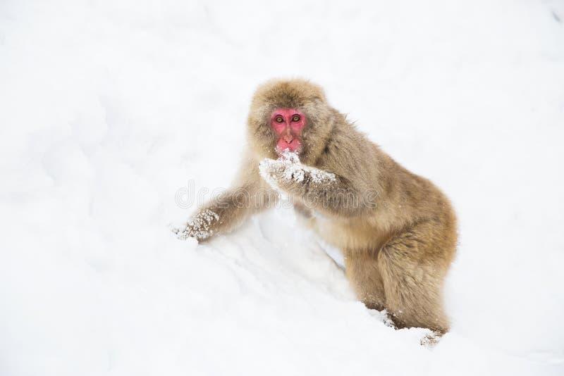 Macaque o mono japonés que busca la comida en nieve fotos de archivo libres de regalías