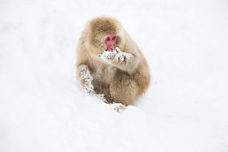 Macaque o mono japonés que busca la comida en nieve fotos de archivo