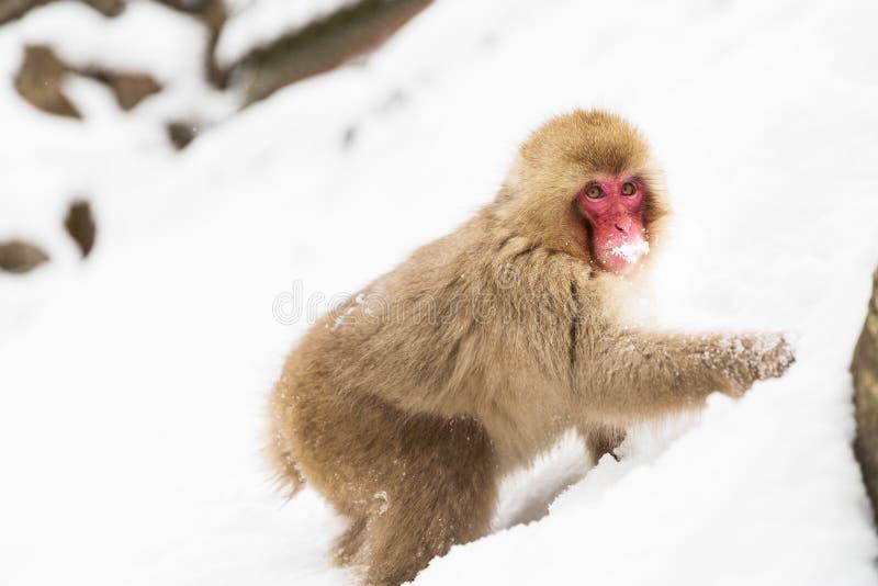 Macaque o mono japonés que busca la comida en nieve imagenes de archivo