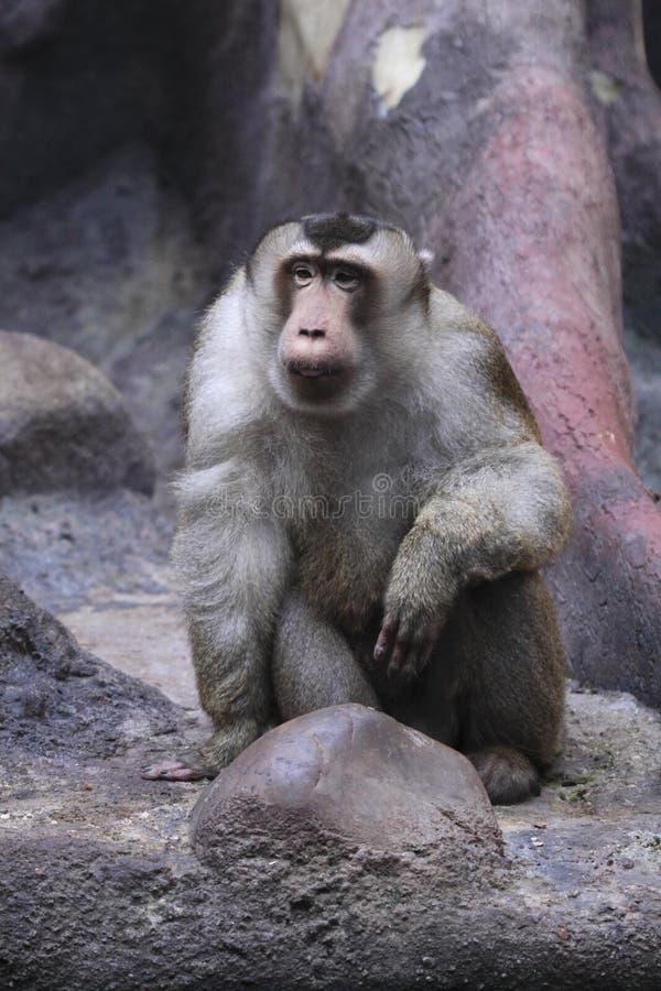 Macaque porc-suivi méridional de regarder photo stock