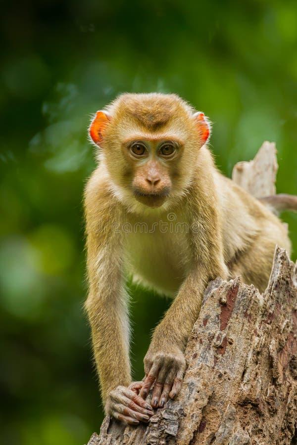 Macaque Porco-atado do norte novo imagem de stock