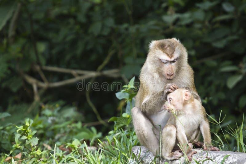 macaque Porco-atado no parque nacional de Khao Yai imagem de stock