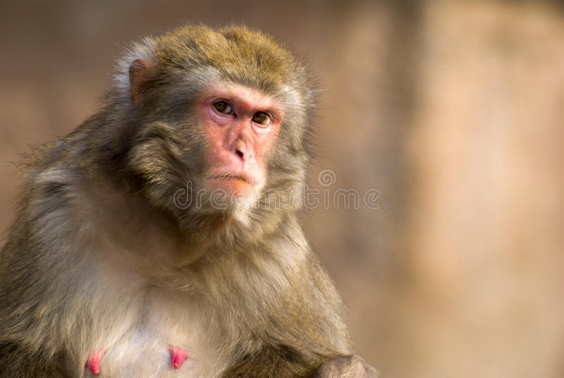 Macaque portrait. Female macaque portrait in Moscow zoo (selective focus stock photography