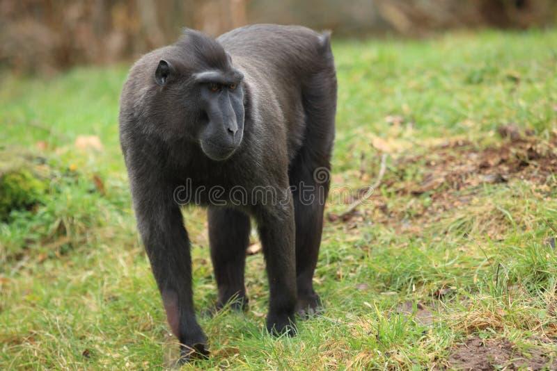 Macaque preto com crista imagens de stock royalty free
