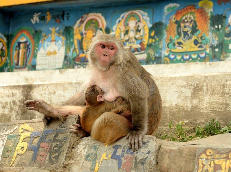 Macaque que alimenta seus jovens em Kathmandu fotografia de stock royalty free