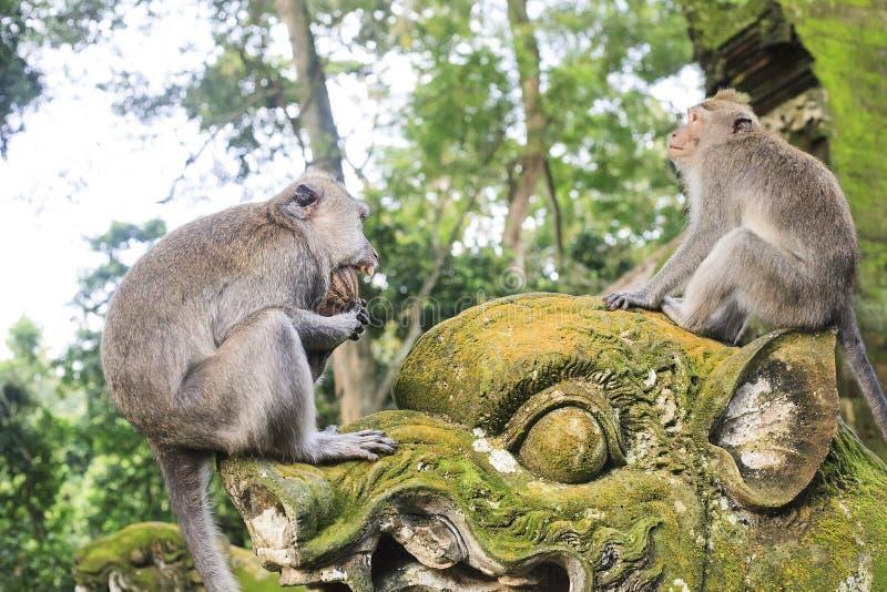 Macaque que come o coco na floresta do macaco de Ubud, Bali foto de stock royalty free