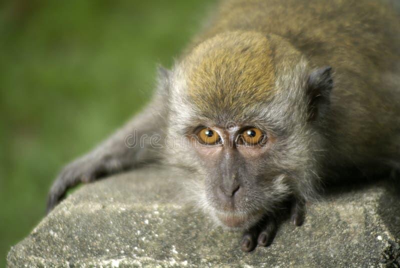 Macaque que se agacha abajo imagen de archivo libre de regalías