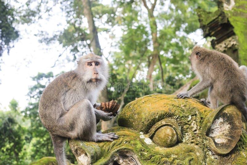 Macaque que se sienta en la estatua vieja cerca del templo hindú, bosque del mono de Ubud fotografía de archivo libre de regalías