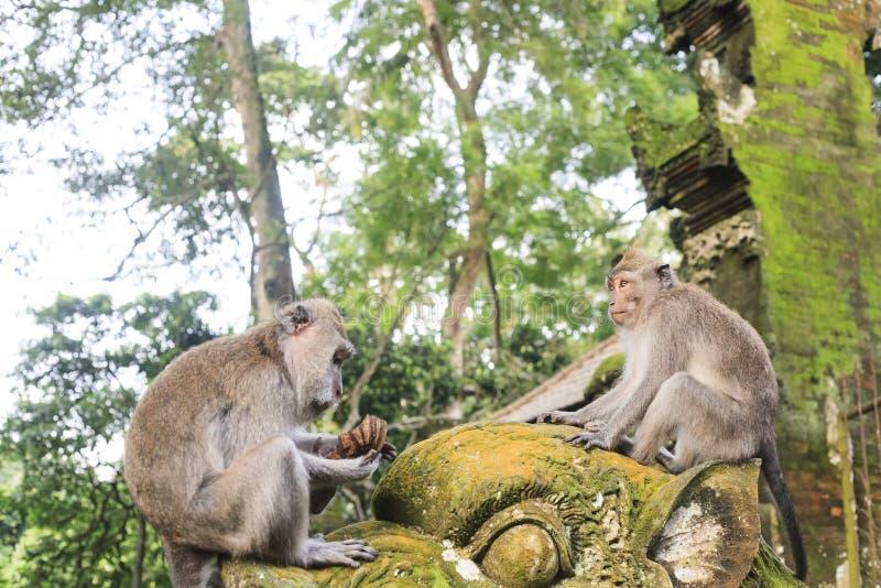Macaque que se sienta en la estatua vieja cerca del templo hindú, bosque del mono de Ubud imagenes de archivo