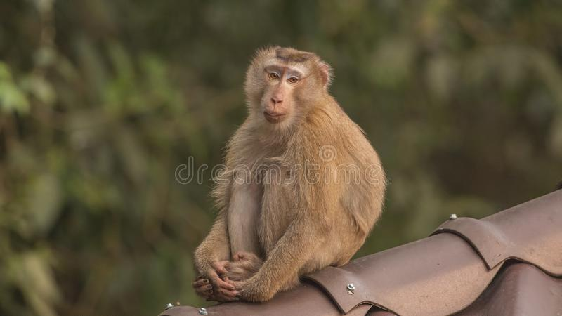 Macaque que senta-se no telhado fotos de stock royalty free