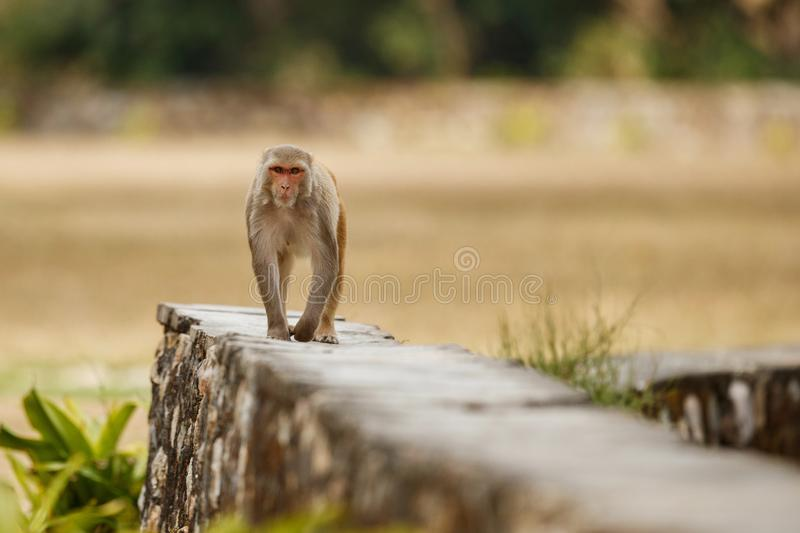 Macaque rhesus on the wall with beautiful blurry background. royalty free stock photos